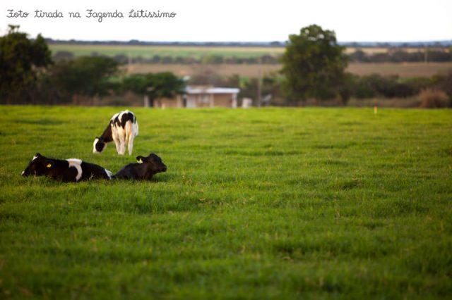 bezerras-na-fazenda-leitissimo-1233
