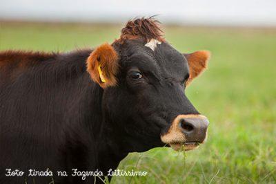 retratto-vaca-leitissimo