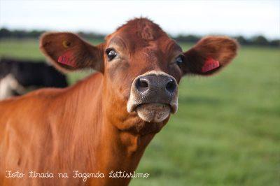 vaca-na-fazenda-leitissimo-2