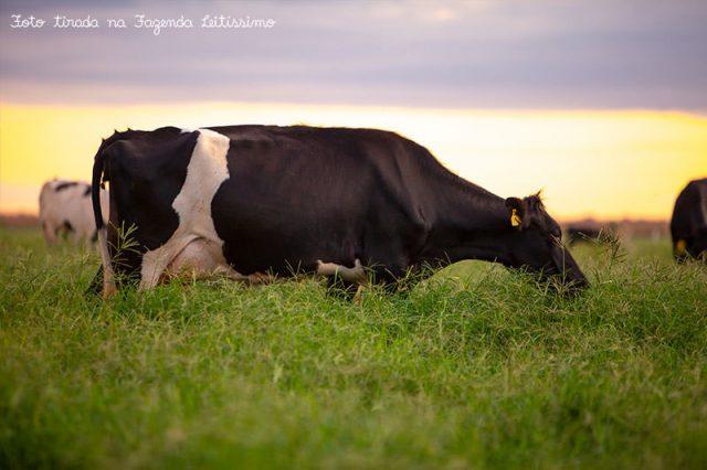 vaca-pastando-na-fazenda-leitissimo
