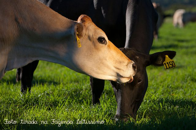vacas-na-fazenda-leitissimo