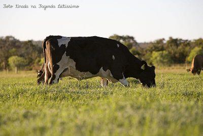 vacas-na-leitissimo